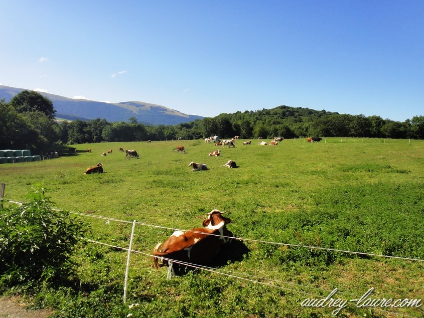 vaches laffrey