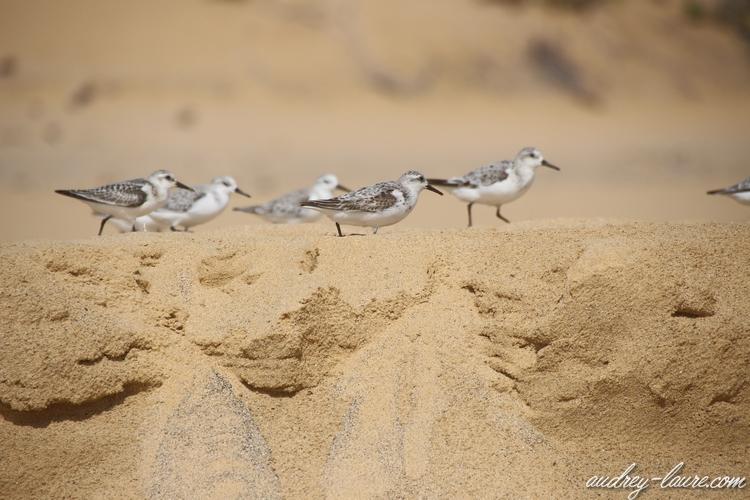 oiseaux des sables