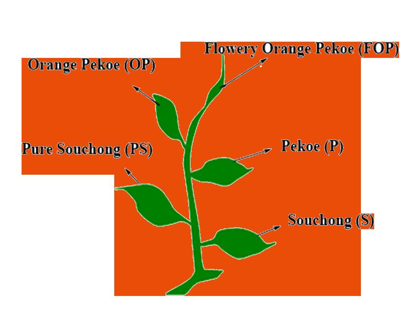 Différents types de thés - schéma explicatif