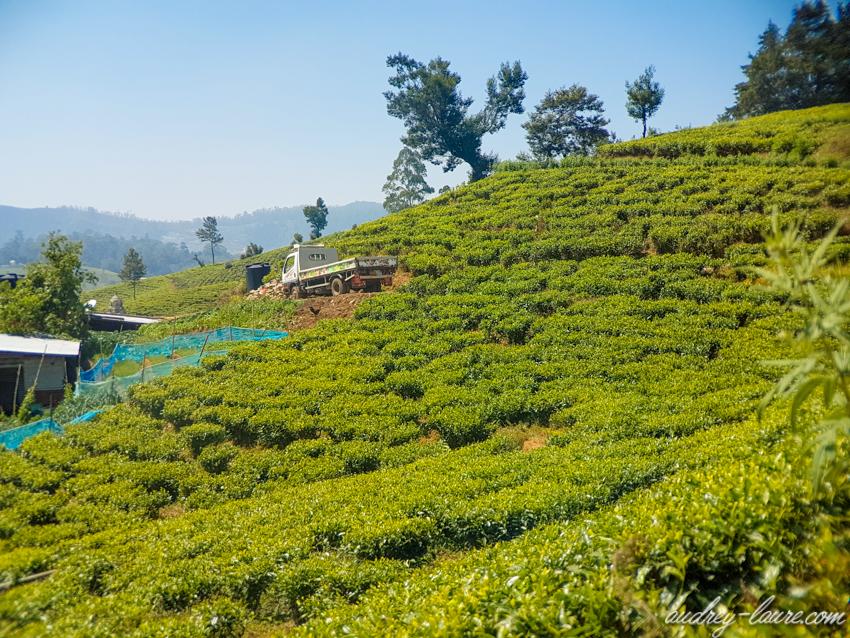 Nuwara Eliya - plantations de thé - Sri Lanka - Ceylan