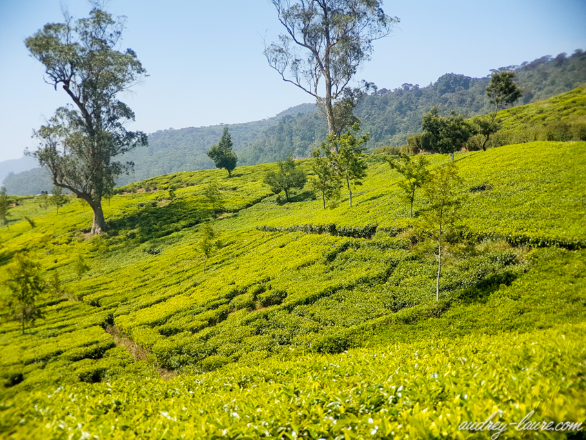 Plantations de thé