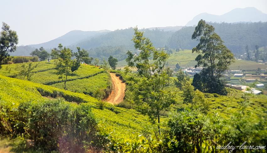 Nuwara Eliya - Voyage au Sri Lanka - champs de thé