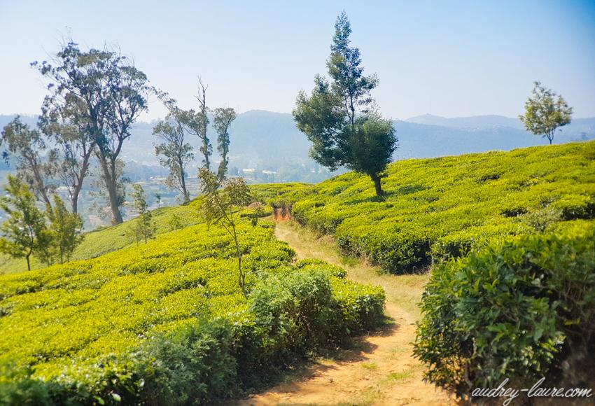 Nuwara Eliya - Voyage au Sri Lanka - plantations de thé