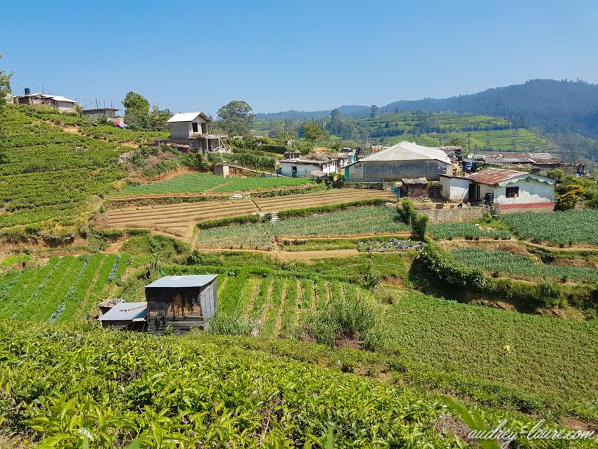 Nuwara Eliya -plantations de thé