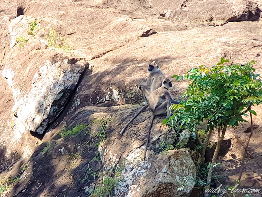 Voyage au Sri Lanka - singes