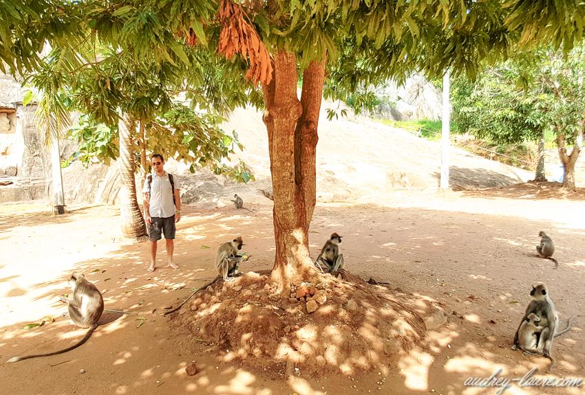 Voyage au Sri Lanka - singes sous un manguier