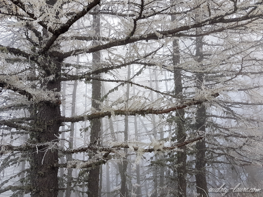Hiver - givre - sapins