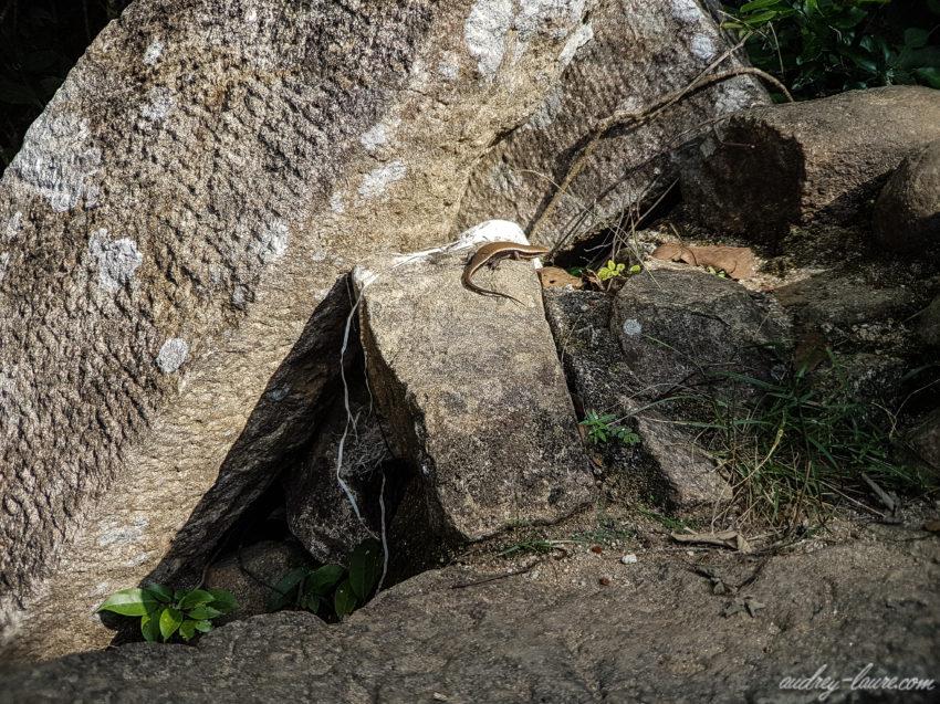 Lézard dans la jungle sri lankaise