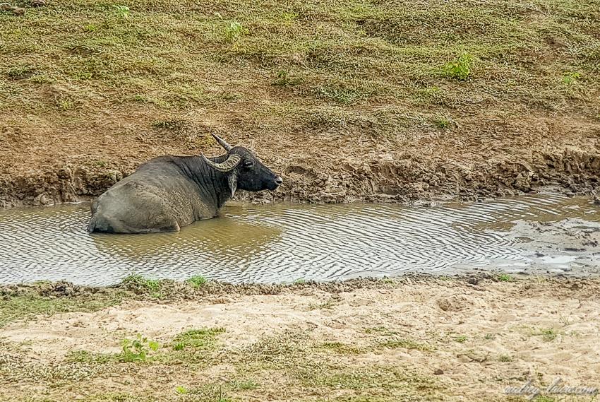 Buffle prenant son bain