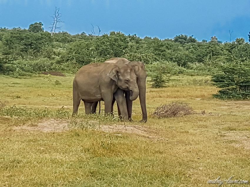 Sri Lanka- éléphants d'Asie