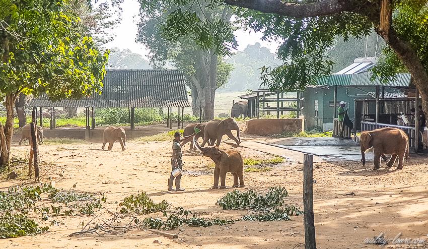 éléphants nourris au biberon - orphelinat des éléphants de Pinnawala - voyage au Sri Lanka