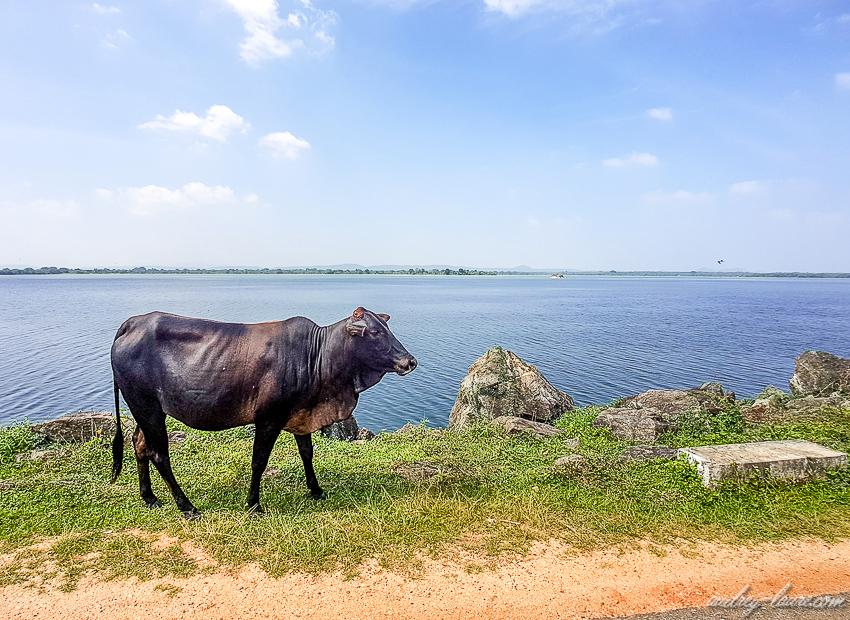 Vache - Sri Lanka