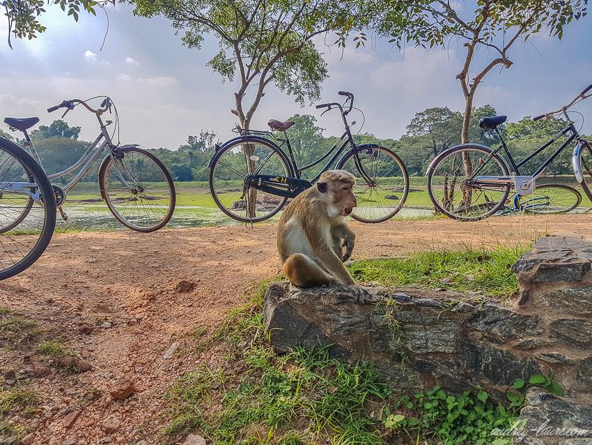 Singe-voyage au Sri Lanka - animaux