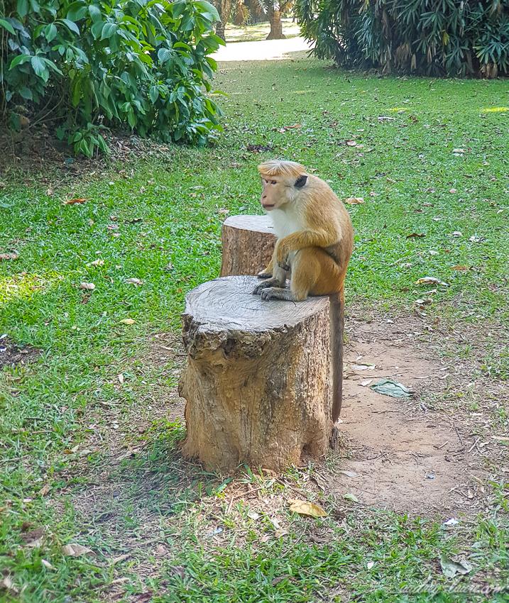 Singe-  Sri Lanka - animaux - voyage