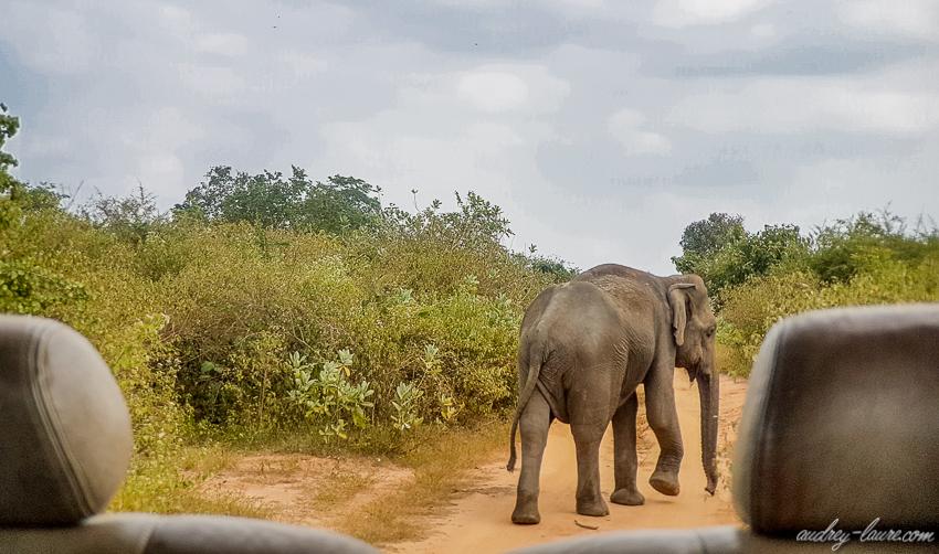 éléphant du Sri Lanka