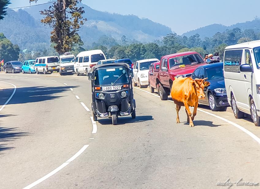 Vache et Tuk-tuk - voyage au Sri Lanka - Nuwara Eliya